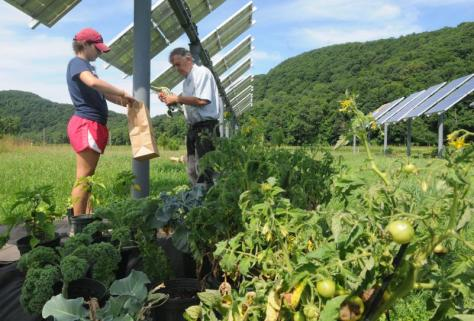 Phaedra Ghazi, research assistant, and Stephan Herbert, a Umass professor at the Stockbridge school of Agriculture, bags vegetable samples part of a dual use of land study for agriculture and solar PV.