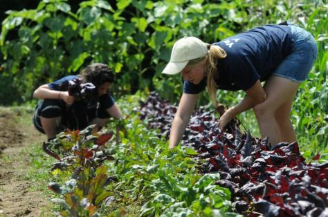 Cate Elliott and Sarah Berquist harvest vegetables in the Food For All garden at the University of Massachusetts Agricultural Learning Center. They manage the garden, which provides food for Not Bread Alone and the Amherst Survival Center. The garden is located at the University of Massachusetts Agricultural Learning Center on N. Pleasant St. in Amherst. Purchase photo reprints »