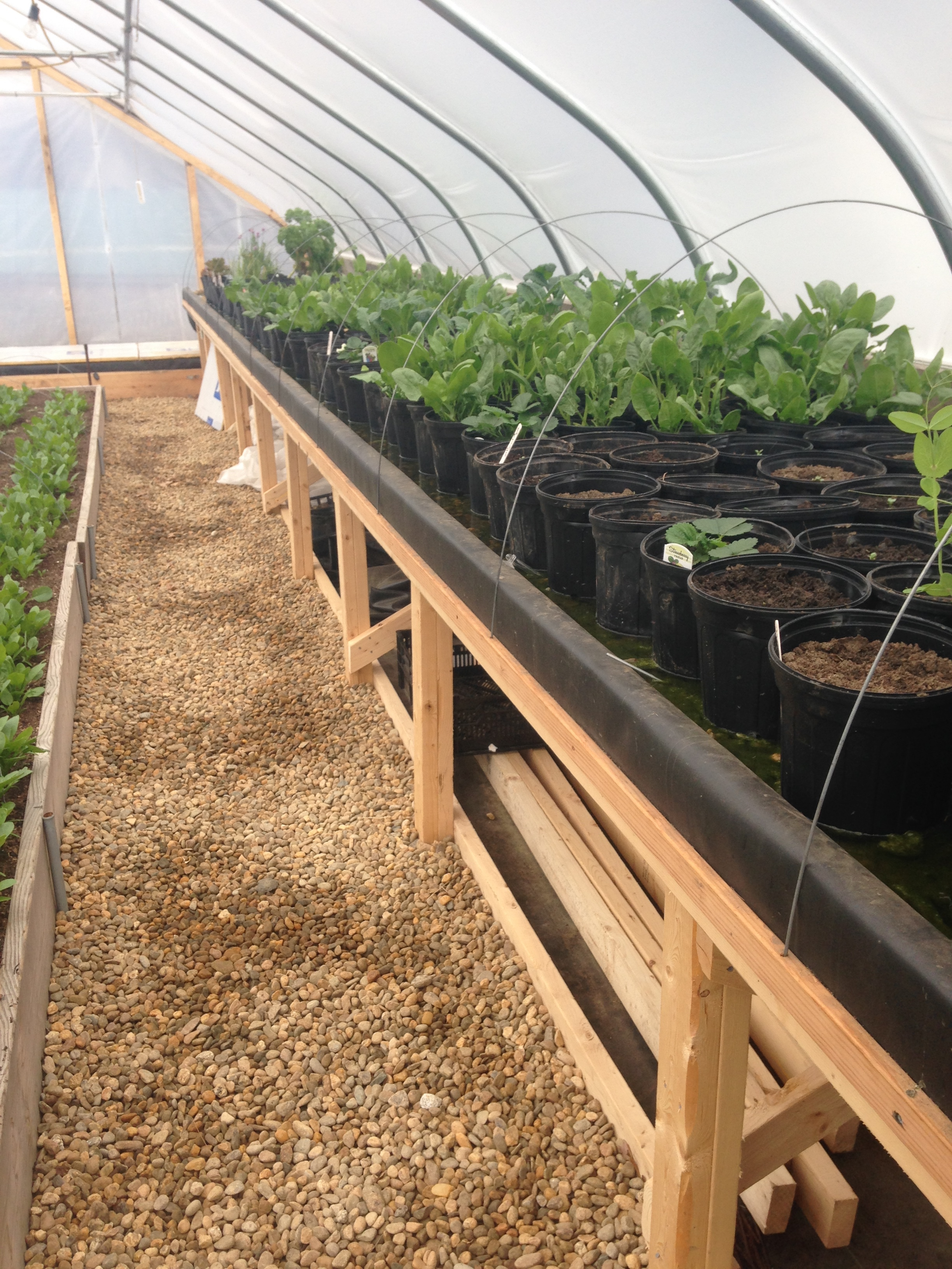 A cultural benefit to using soil as a growing medium in for Koi aquaponics