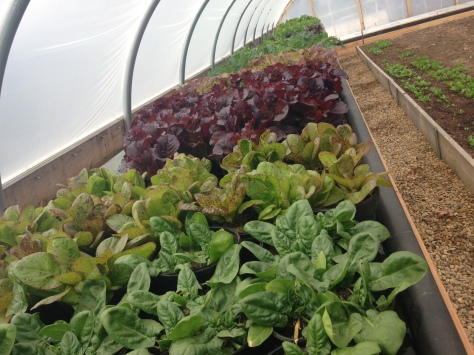 Spinach and lettuce at Pettengill in Salisbury, MA