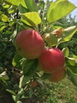 HFP apple - 1 (2)