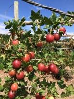 HFP gooseberries - 1 (2)