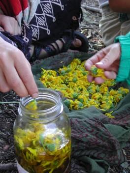 Arnica longifolia in oil