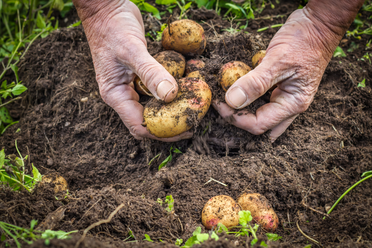 190219-dairy-farmer-climate-change-carbon-farming-regenerative-agriculture-digging-potatoes-1